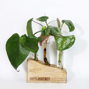 Table or desk plant
